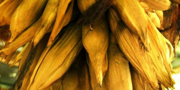 Preserved corn for future planting hanged to avoid rodents attacks…