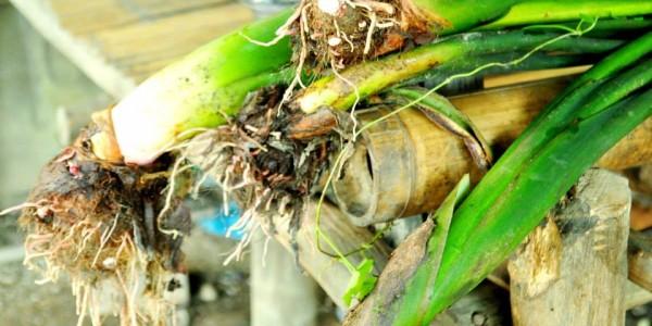 Gabing sungsung (Colocasia esculenta)