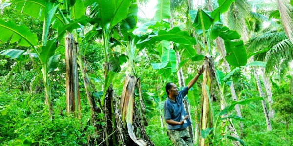 Banana (Musa paradisiaca sapientum) crops slowly recovering from damaged accrued during typhoon Haiyan.